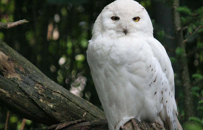 Фото обои лес, дерево, птица, белая, Снежная сова