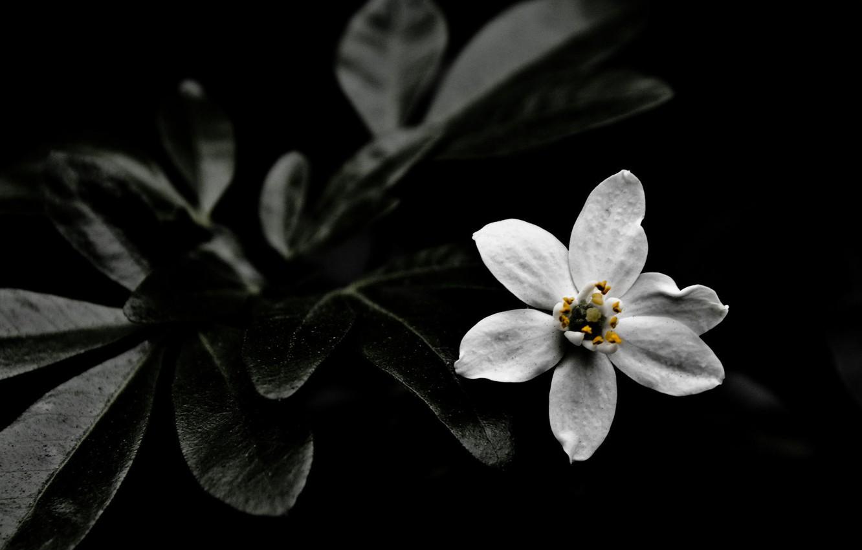 Фото обои dark, nature, flowers, White flower