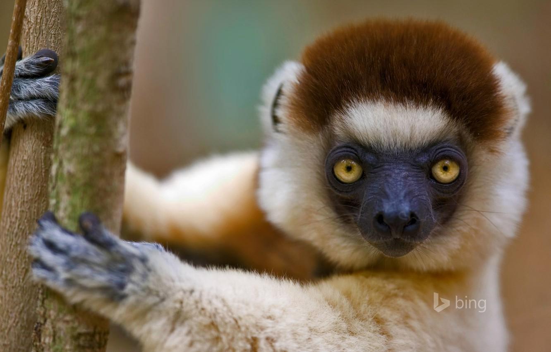Фото обои лемур, Мадагаскар, примат, сифака Верро, хохлатый сифака, хохлатый индри