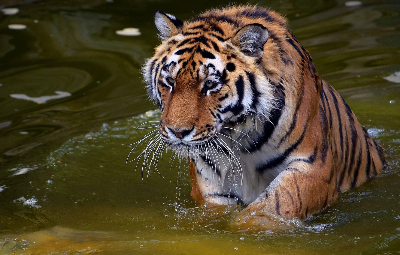 Фото обои усы, взгляд, морда, вода, капли, тигр, хищник, tiger, panthera tigris