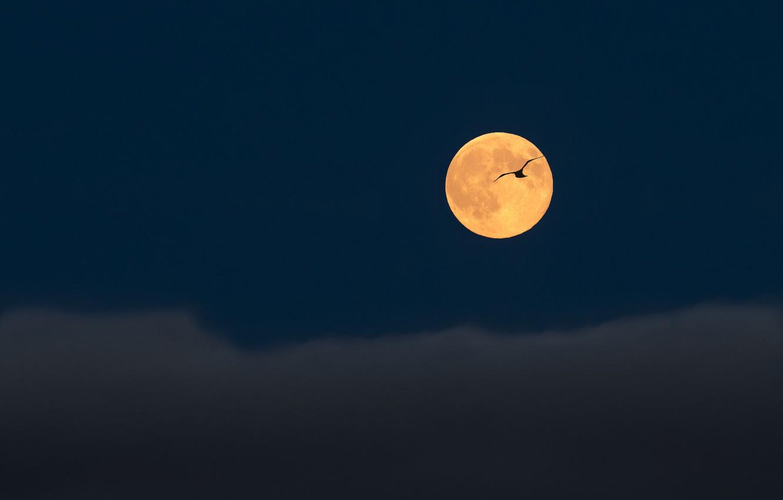 Фото обои небо, полет, тучи, птица, луна, Ночь, полнолуние