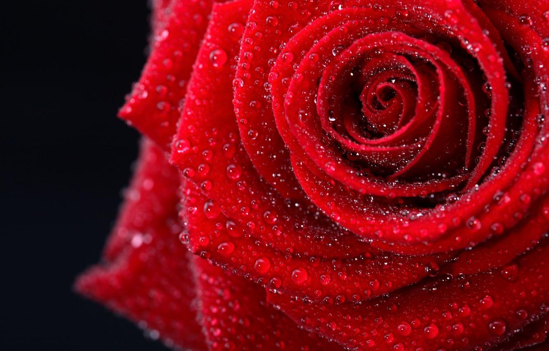 Фото обои цветок, цвета, капли, фото, нежный, романтика, черный, роза, красота, мокрая, colors, фотографии, red, rose, красивая, …