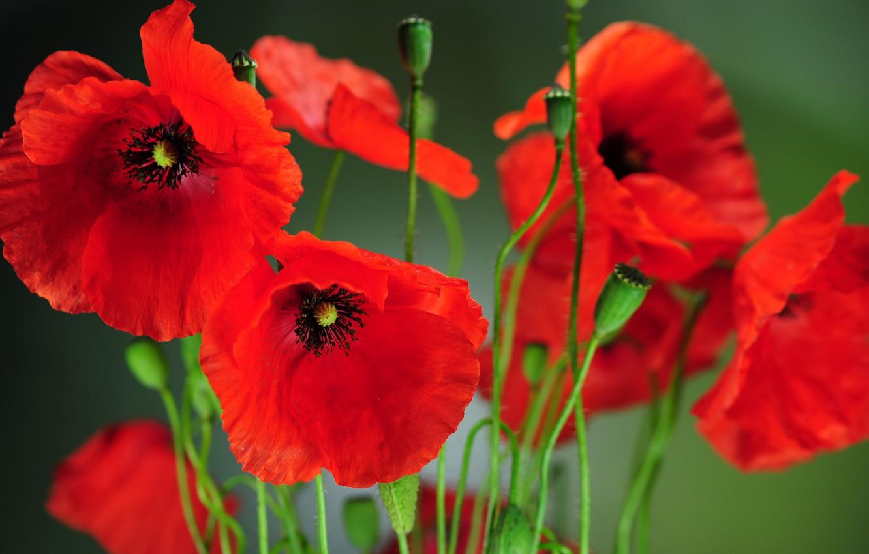 Фото обои поле, цветы, природа, маки, весна, лепестки