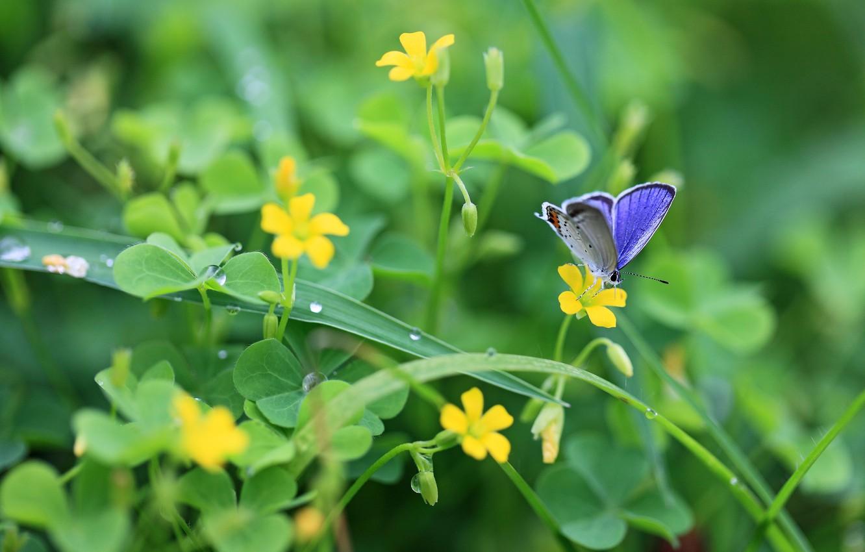 Фото обои зелень, листья, капли, макро, цветы, природа, роса, бабочка, растения, желтые, клевер, насекомое