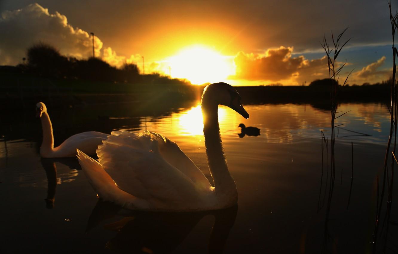 Фото обои солнце, закат, природа, озеро, лебеди