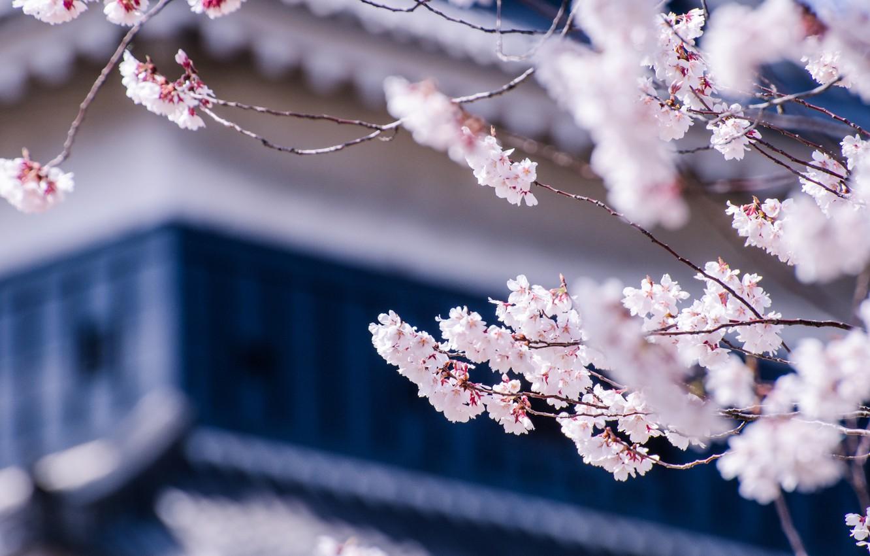 Фото обои макро, цветы, ветки, вишня, дерево, Япония, размытость, сакура, цветение, Мацумото, префектура Нагано