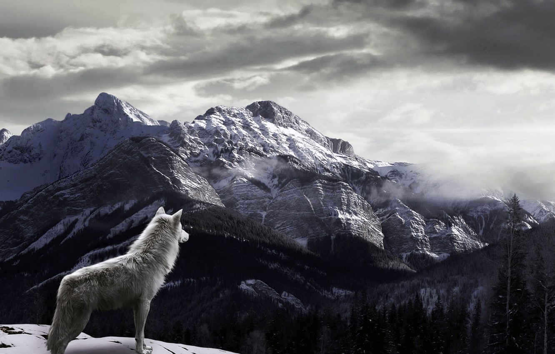 Фото обои снег, горы, туман, Волк