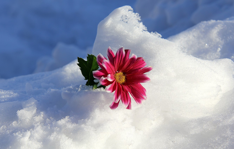 Фото обои зима, цветок, снег