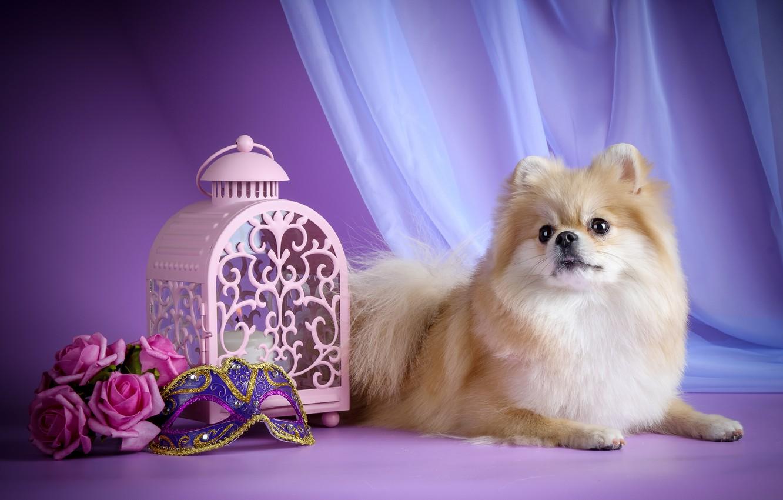 Картинки на телефон на заставку щенки шпица
