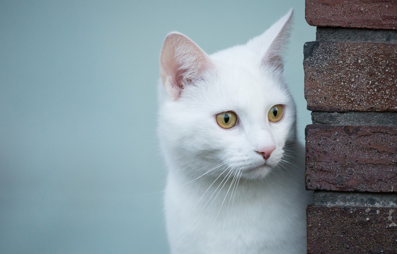 Фото обои взгляд, белый кот, белая кошка
