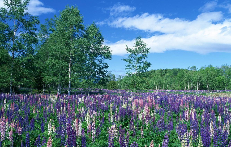 Фото обои лес, небо, деревья, цветы, луг