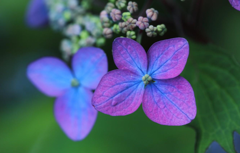 Фото обои макро, лепестки, цветки, боке, гортензия