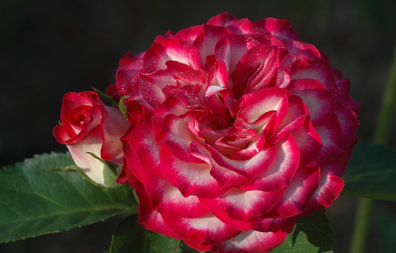 Фото обои макро, роза, розы, лепестки, бутон