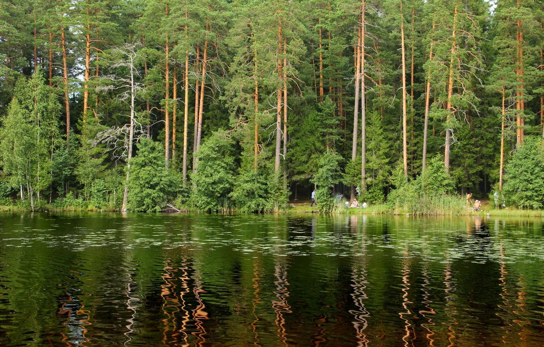 Фото обои лес, деревья, природа, озеро, фото, Санкт-Петербург, Россия, Щучье, Комарово