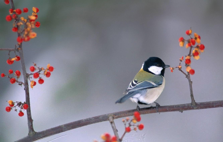 Фото обои ягоды, птица, ветка, птичка, синица