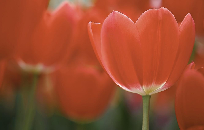 Фото обои поле, макро, цветы, лепестки, тюльпаны, красные, red, field, flowers, macro, petals, Tulips