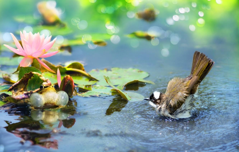 Фото обои цветок, листья, вода, природа, птица, лягушка, лотос, боке, бюльбюль