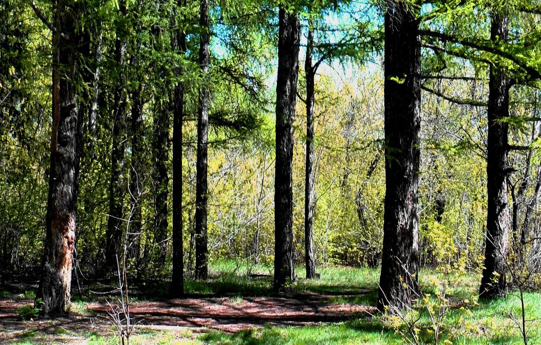 Фото обои деревья, весна, Лес, обложка