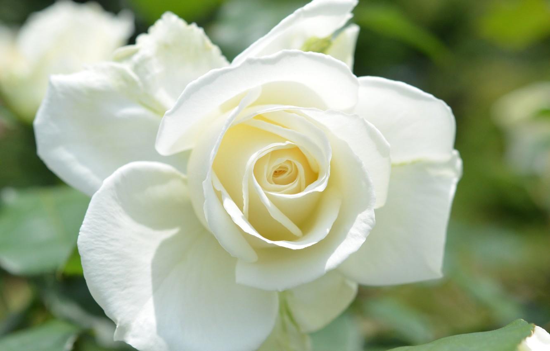 Смотреть картинки розы белые