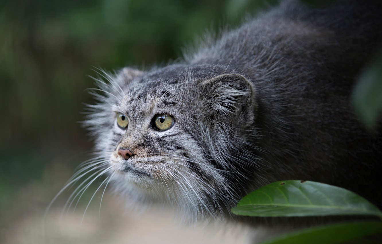 Фото обои взгляд, манул, Pallas Cat