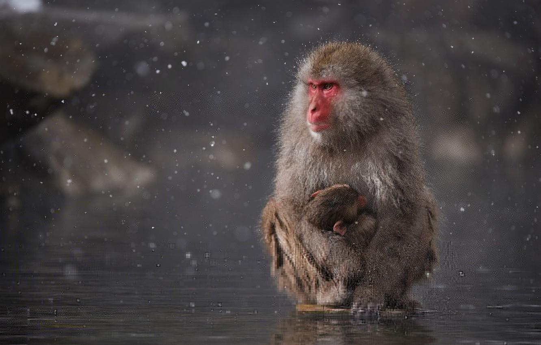 Фото обои вода, снег, озеро, Япония, обезьяна, Japan, monkey, детеныш, water, snow, child, макака, mother