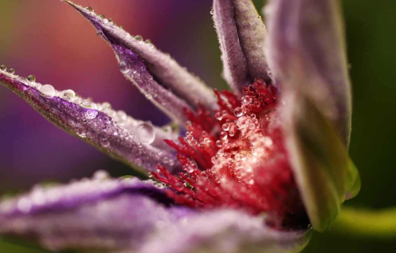 Фото обои цветок, капли, макро, распускается
