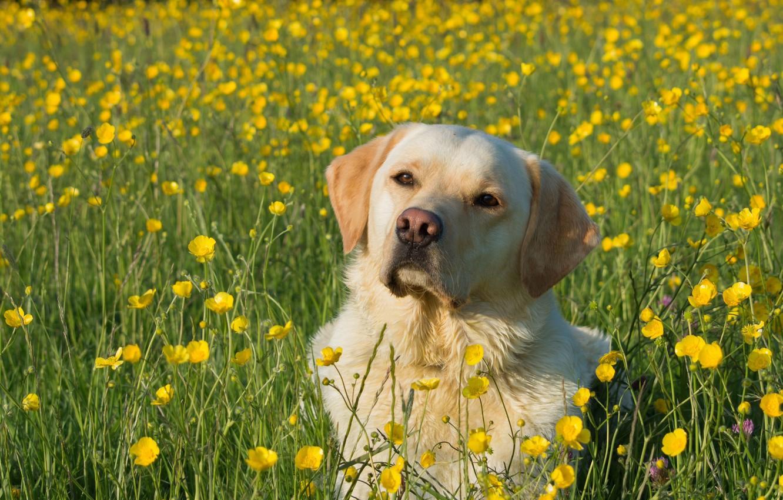 Обои собаки, люпины, цветы, Две собаки, луг. Собаки foto 9