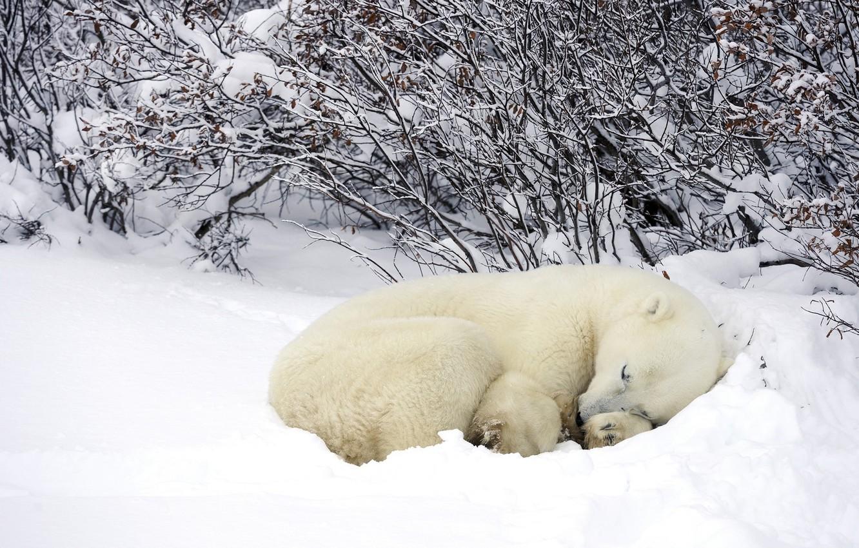 Фото обои зима, лес, снег, Белый медведь
