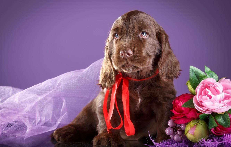 Обои спаниель, шоколадный, щенки. Собаки foto 9