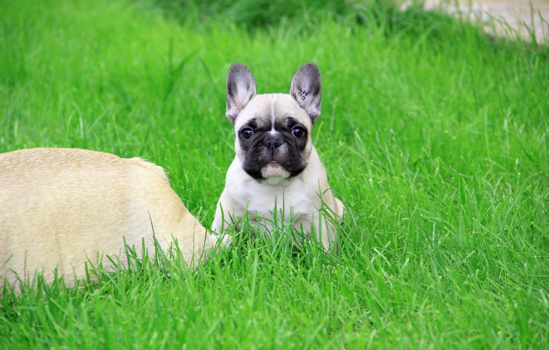 Фото обои трава, взгляд, щенок, французский бульдог, клеймо, French Bulldog