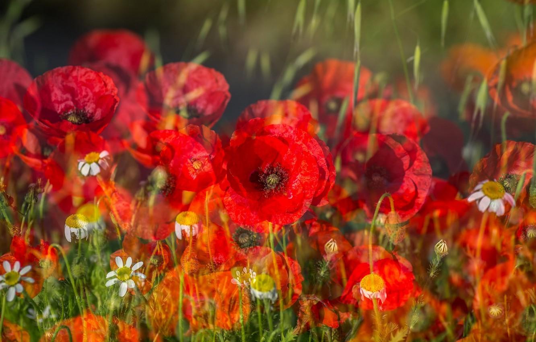 Фото обои поле, трава, цветы, маки, ромашки