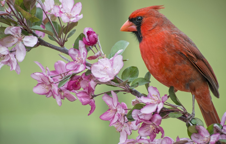 Фото обои птица, ветка, весна, яблоня, цветение, цветки, кардинал, Красный кардинал