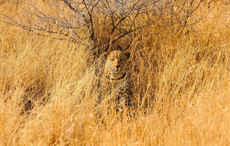Фото обои трава, колючки, леопард, саванна, смотрит, грустный, акации