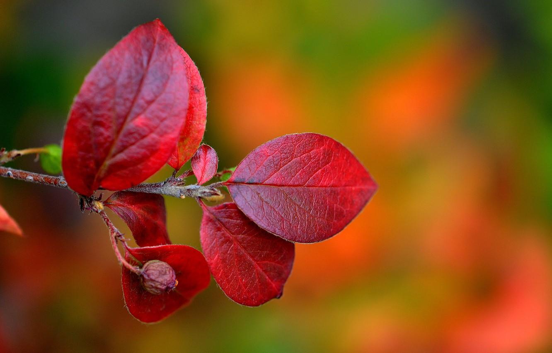 Фото обои осень, листья, природа, ветка, багрянец