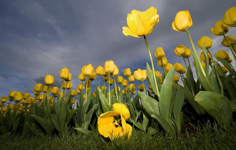 Фото обои цветок, желтый, тюльпан