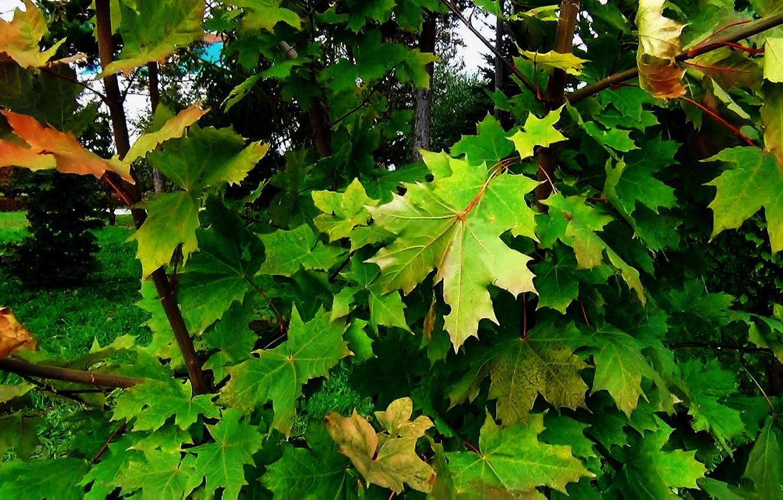Фото обои зелень, листья, природа, фон, Осень