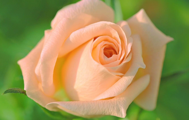 Картинки кремовые бутоны роз