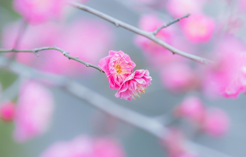 Фото обои макро, цветы, веточка, розовый, нежность, ветка, весна, цветение