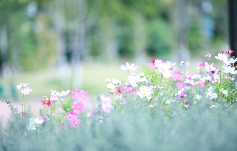 Фото обои свет, поляна, весна, размытость, розовые, белые, космея