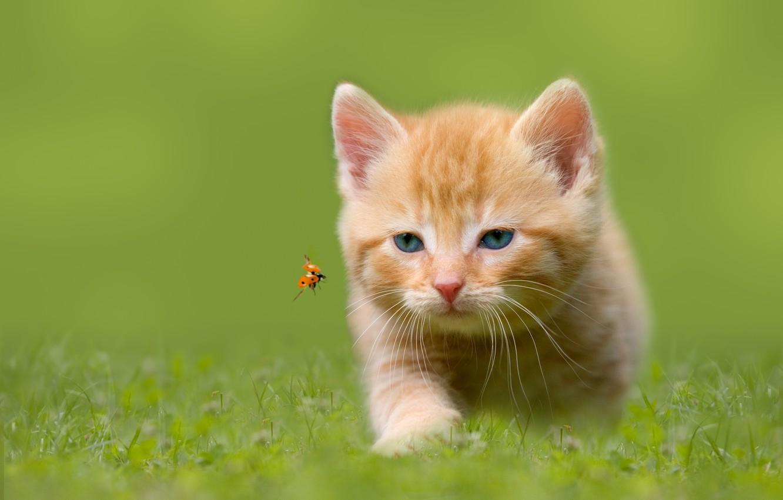 Фото обои трава, божья коровка, насекомое, охота, котёнок, голубоглазый