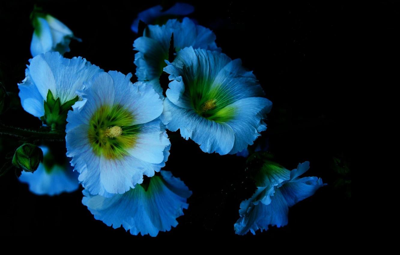 Фото обои свет, цветы, фон, тень, лепестки, мальвы