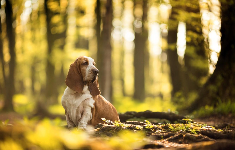 Фото обои взгляд, природа, друг, собака