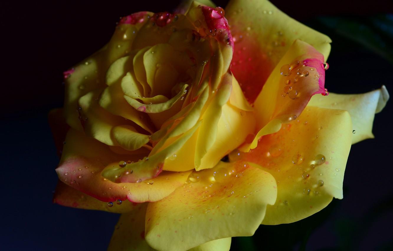 Фото обои цветок, капли, романтика, нежность, роза, красота, rose, flower, yellow, желтая, romantic, beauty, water drops, tender, …