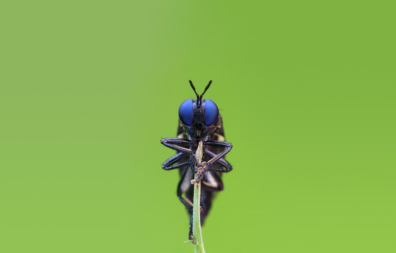 Фото обои глаза, макро, муха, насекомое, сидит, fly, стебелек, insect