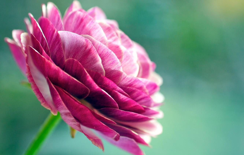 Фото обои цветок, макро, лепестки, розовый цвет, ранункулюс, азиатский лютик