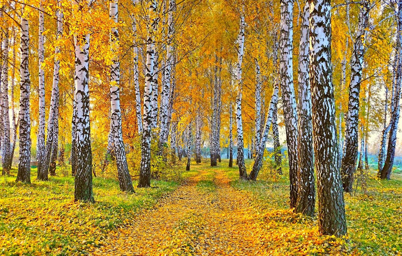 Фото обои дорога, осень, пейзаж, природа, желтые листья, березы