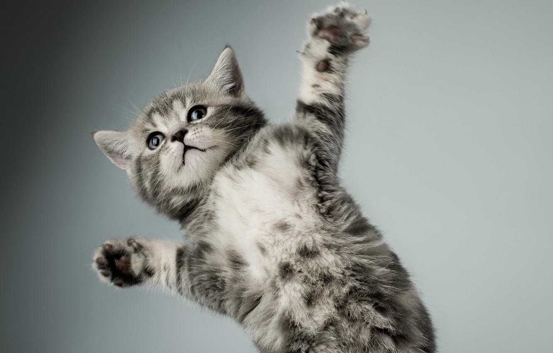 Фото обои кошка, белый, котенок, серый, лапы