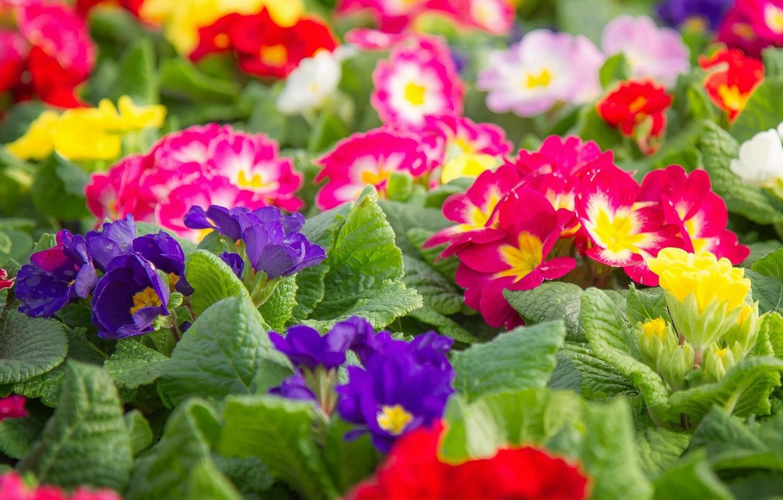 Фото обои разноцветные, первоцвет, примула