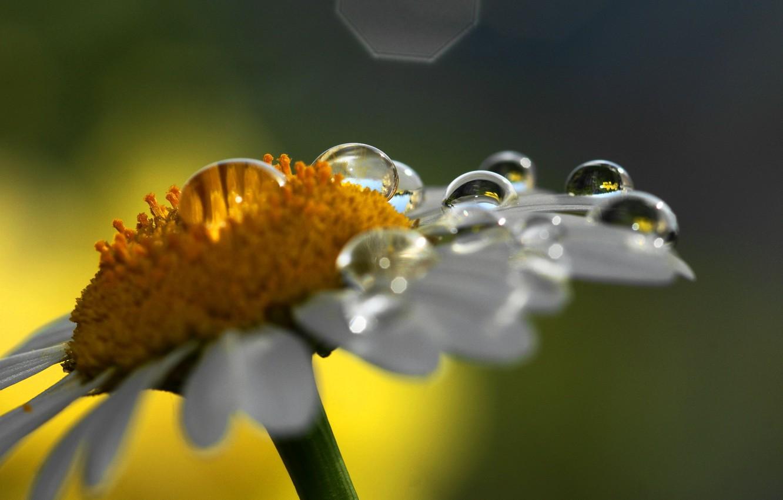 Фото обои цветок, капли, макро, природа, ромашка
