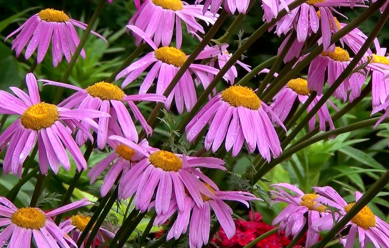 Фото обои цветы, роса, фон, обои, ромашки, Лето